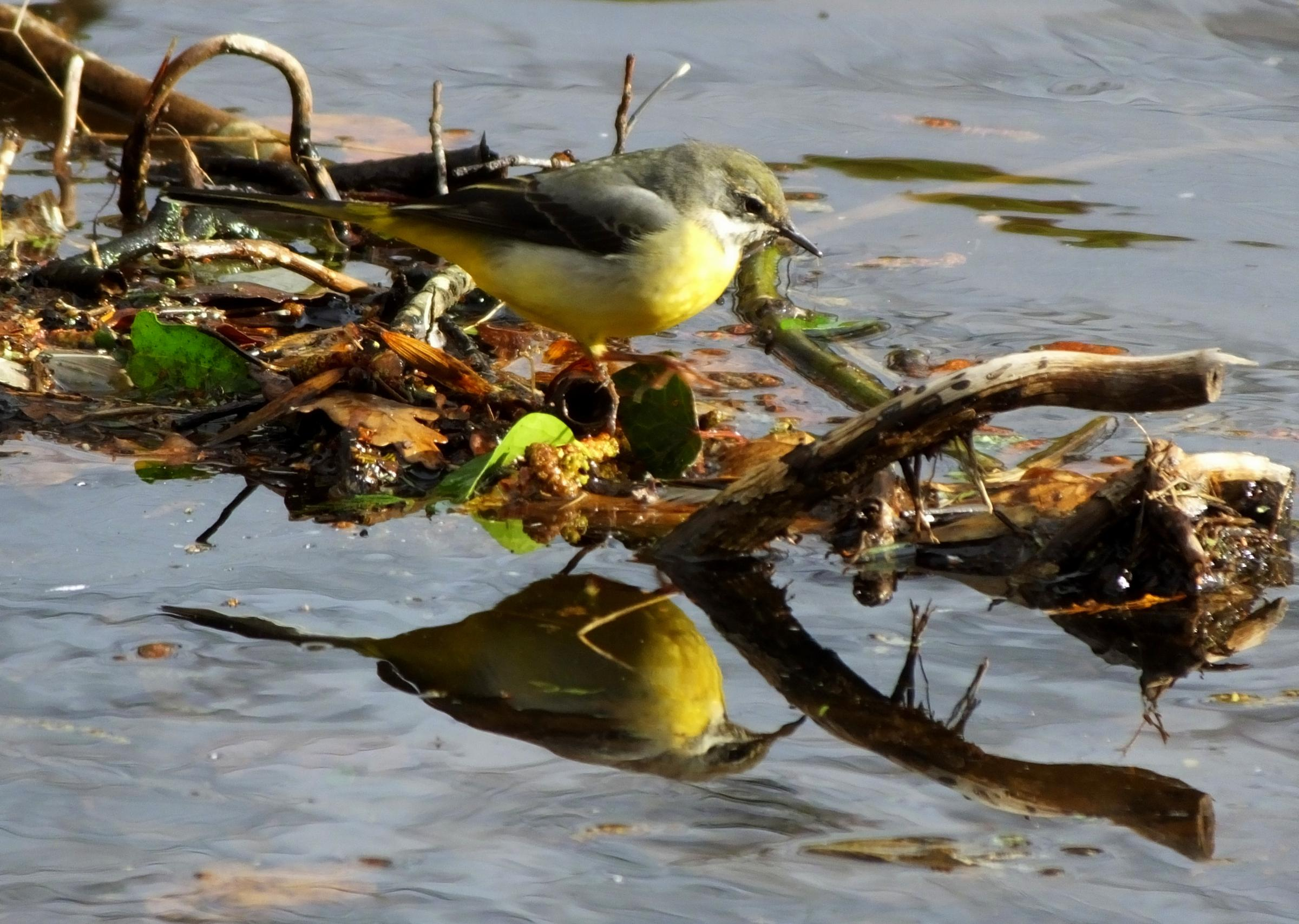 A grey wagtail and its reflection