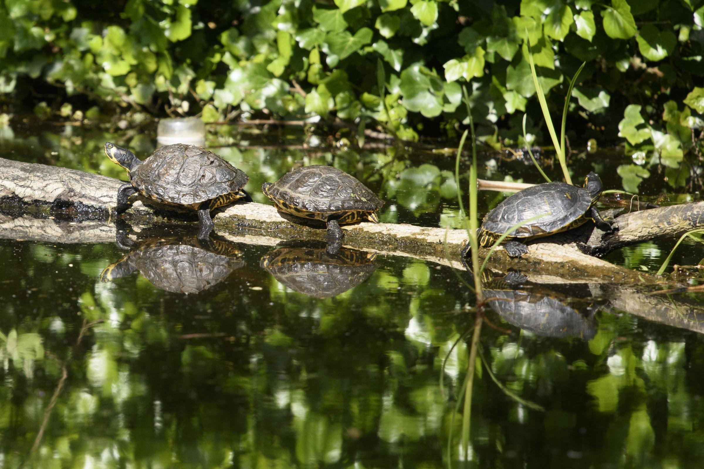 Terrapins in the Forth and Clyde Canal near Clydebank. Locals say the terrapins were set free in the canal several years ago by a pet store owner who's shop was closing down. They stay in the same log every summer to bask in the sun, amongst the plast