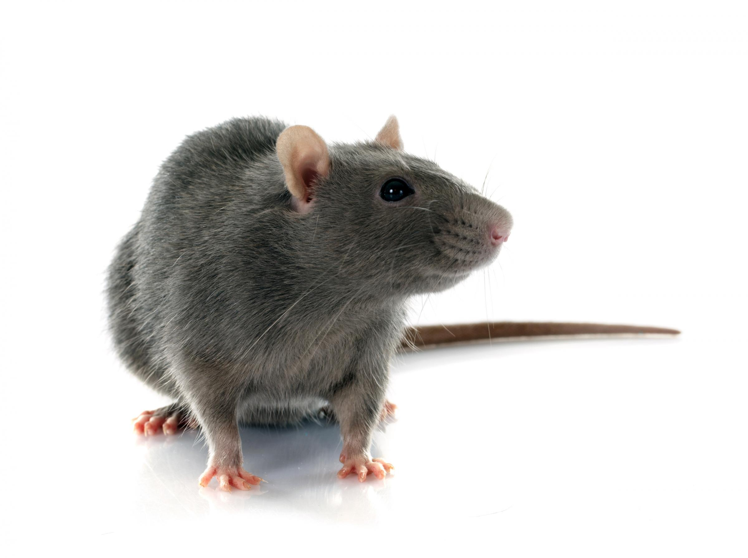 No count for rats in Glasgow for 12 years