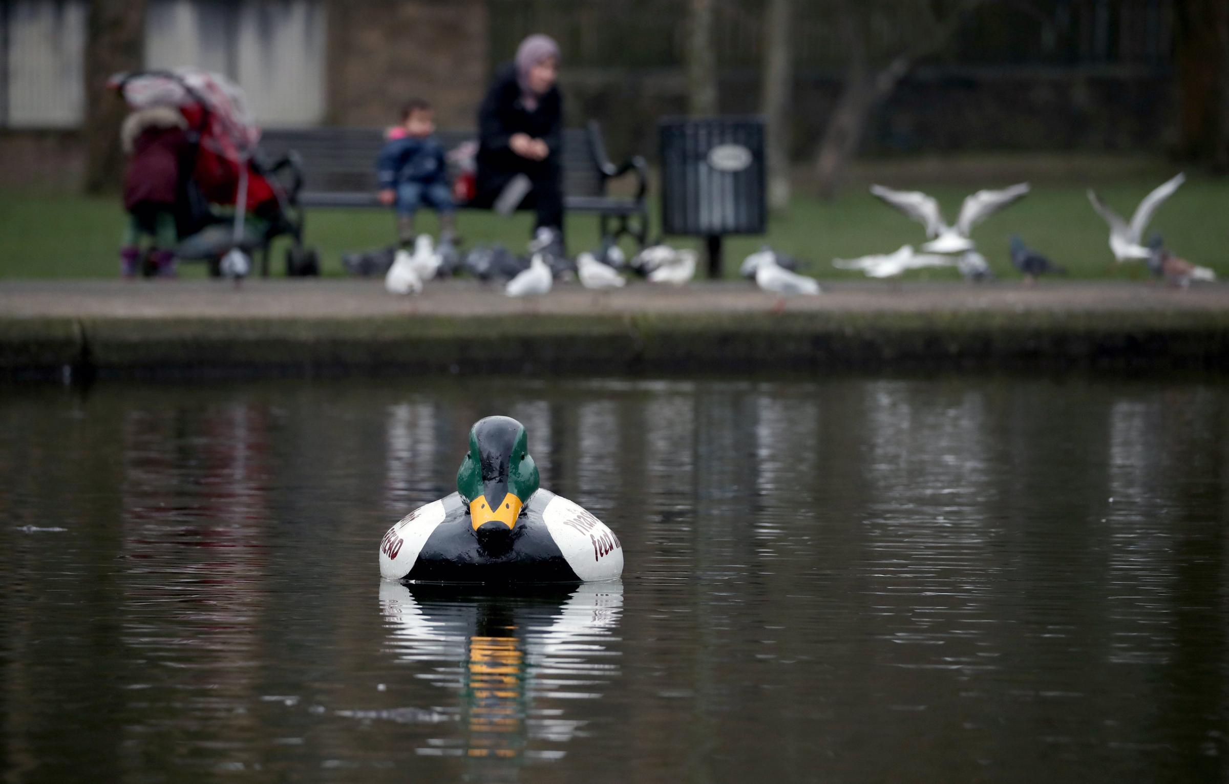 Giant plastic ducks have been placed in the pond in Queens Park, Glasgow, to deter people from feeding the ducks bread, picture: Jane Barlow/PA Wire